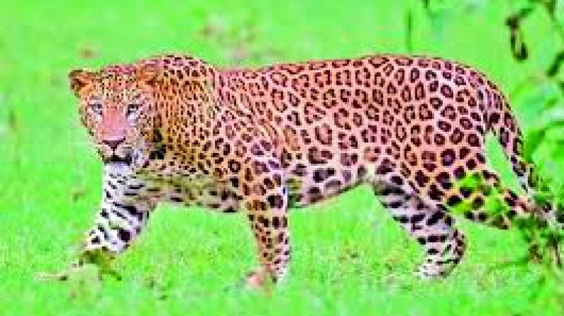 The threat of being attacked by a leopard or a tiger remains, says a villager of Peruru.