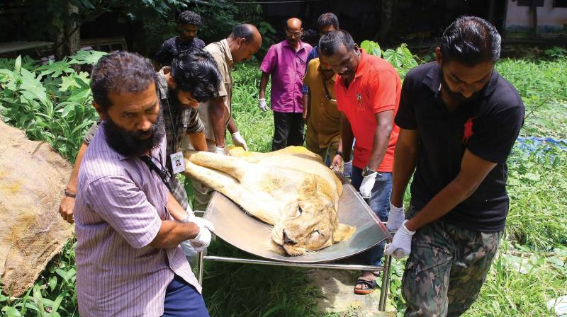 Forest officials carry the carcass of six-and-a-half-year-old Asiatic Lioness Radha for postmortem examination in Thiruvannathapuram Zoo on Tuesday.  (A.V.MUZAFAR)