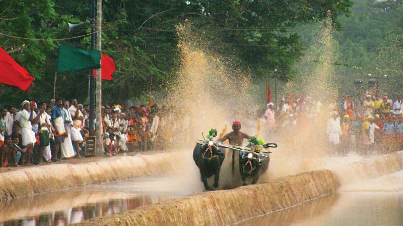 A file photo of Kambala  near Mangaluru. (Photo: DC)