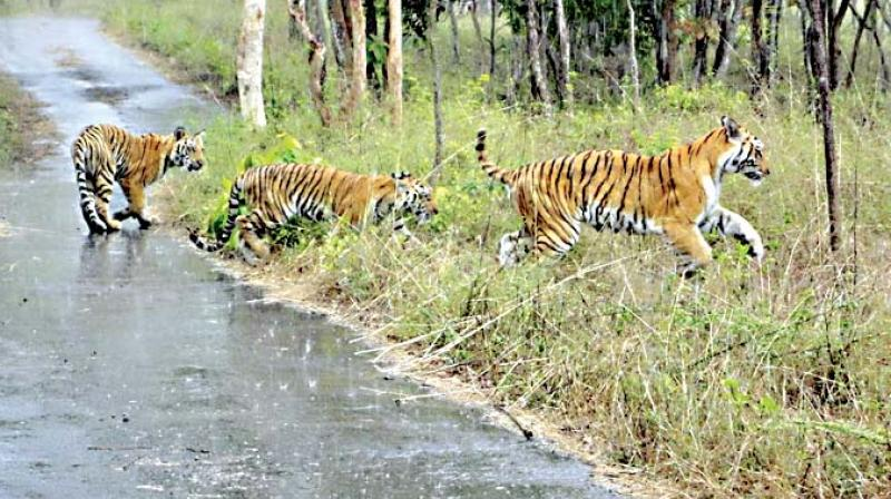 Tigers at the Bannerghatta National Park