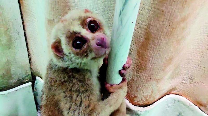A slow loris that was seized in Hyderabad.