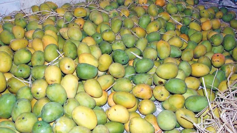 The succulent Banaganapalle mango has got Geographical Indication (GI) registration from the Geographical Indications Registry in Chennai on Wednesday. (Photo: File)