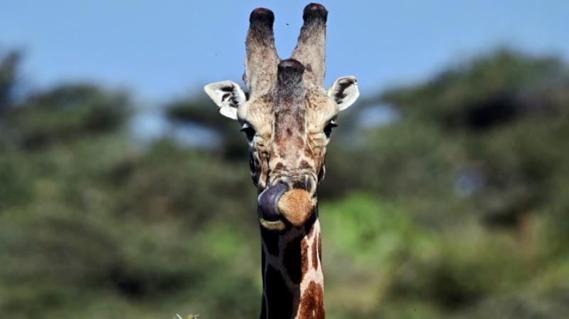 """In 2010, giraffes were a species of """"least concern"""" on the IUCN red list. (Photo: AFP)"""