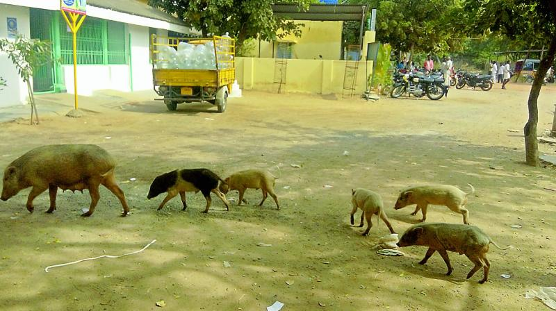 """Pigs are the sources of several diseases such as brain fever,"" general physician and retired Kurnool Medical College principal Dr Bhavani Prasad said."
