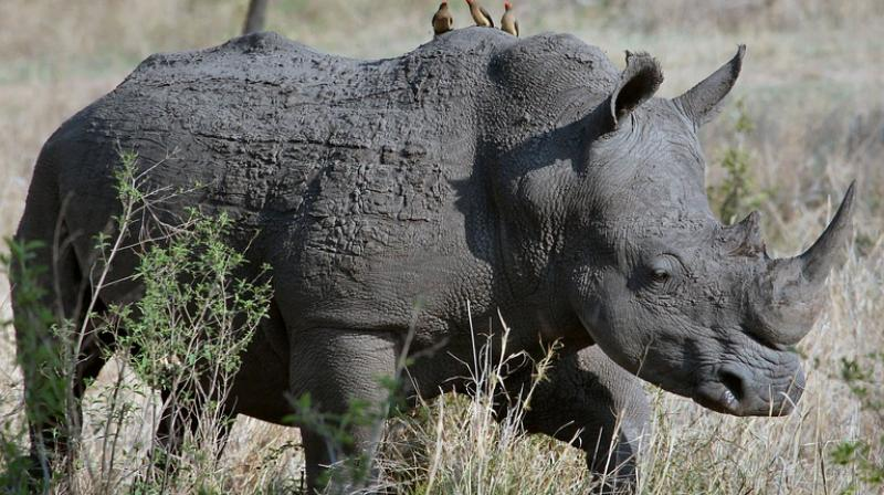 Sigfox, known for building networks that link objects to the internet, has developed sensors able to give the exact location of rhinos using the firm's network over a longer period of time. (Photo: Pixabay)