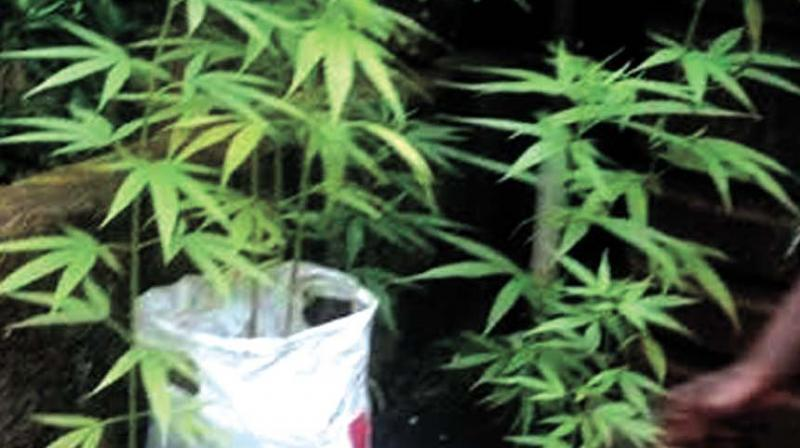 Ganja plants found on the terrace of a house in Kunnamangalam. (Photo: DC)