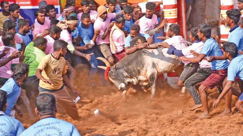 Youth try to tame a bull in Alanganallur jallikattu on Friday. (Photo: K. Manikandan)