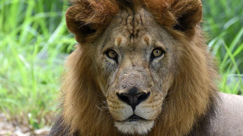 A majestic lion stares back at traffic on the road running through the Bengaluru Bannerghatta Biological Park. Photp: Satish Basavaraju