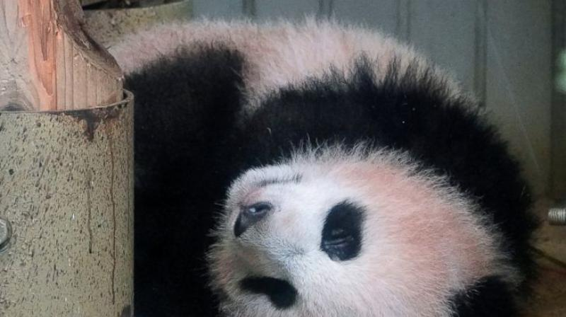 The zoo's deputy director said that panda keepers have worked hard to ensure the safety and health of the baby panda and that he was delighted to see her steady growth. (Photo: AP)