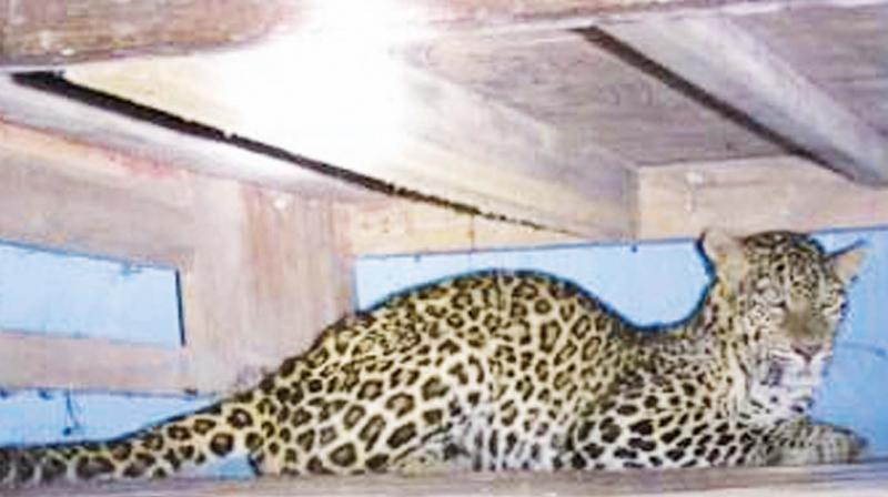 Tuesday afternoon, a rude shock awaited them in the form of a panther hiding inside his house.