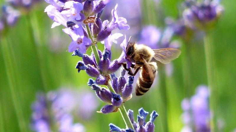 New study by the University of New Hampshire has found that more than a dozen wild bee species critical to pollinating fruits and vegetables across New England are on the decline. (Photo: Representational/Pexels)