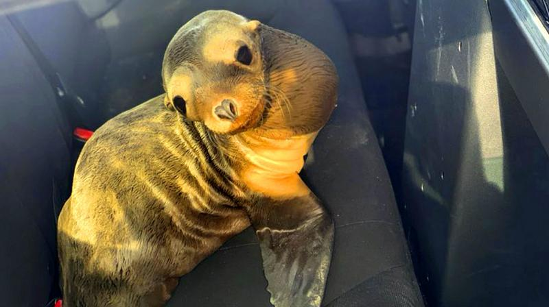 The baby sea lion was taken to the Peninsula Humane Society after the rescue. (Photo: AP)