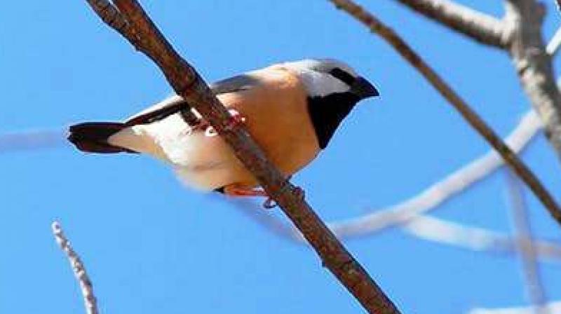 The endangered black-throated finch has stalled the multi-million-dollar Carmichael coal mine in Queensland, Australia. (Photo: Flicker/Steve Dew)