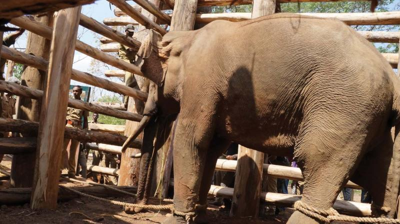 Vadakkanad Komban, the rogue tusker captured on Monday, in the specially-made wooden cage at the elephant camp in Muthanga near Sulthan Bathery.