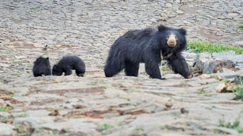 Bear with its cubs resurfaced again at Halakkarai  village limits near Coonoor. (DC)