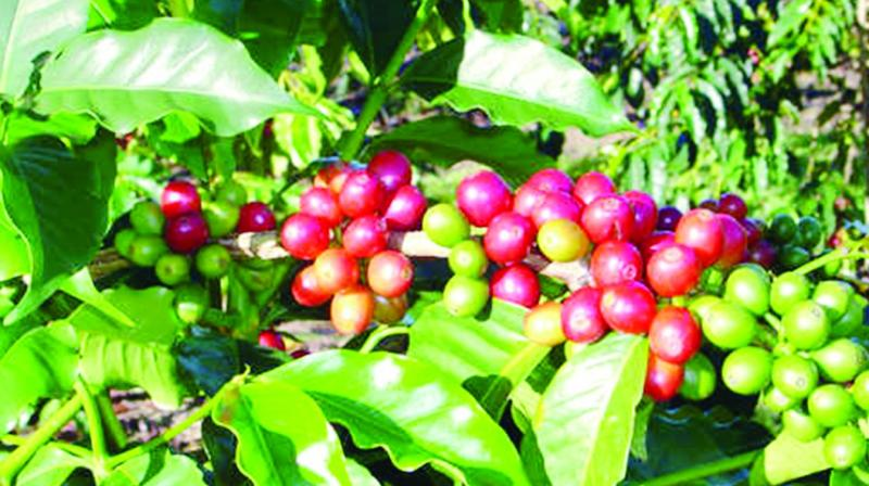 The Girijan Cooperative Corporation has attempted to make wine from Araku coffee.