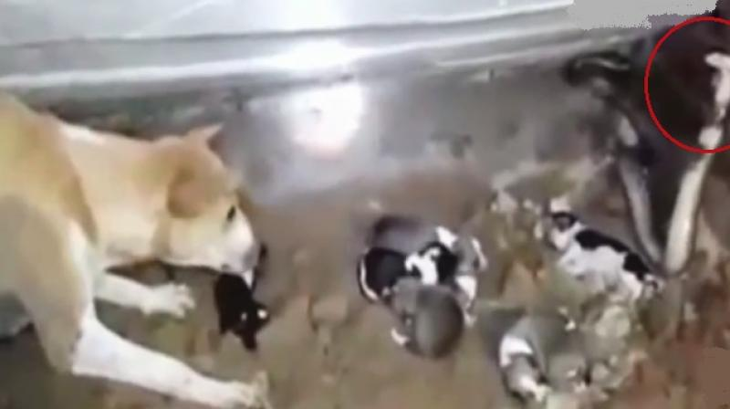 Video Fierce Dog Takes On Cobra To Save Her Puppies In Odisha