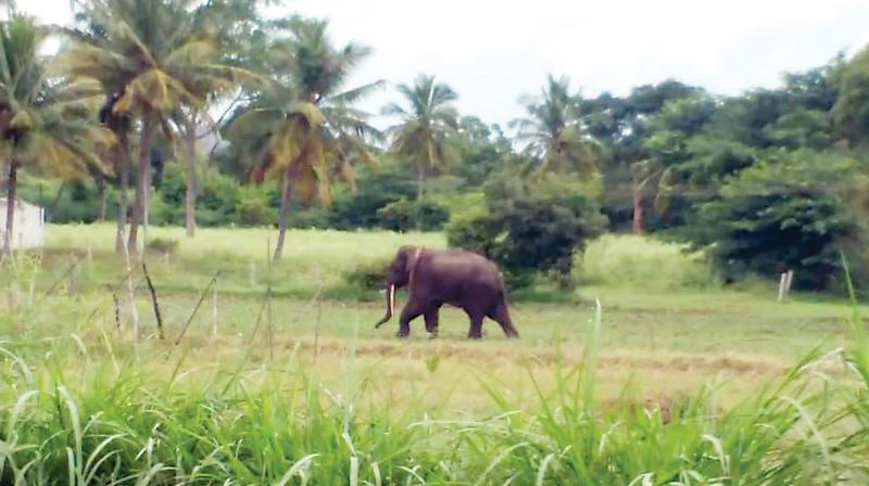 The tusker from Mudumalai sighted grazing in the fields of Shivapura village on Tuesday. (Photo: DC)