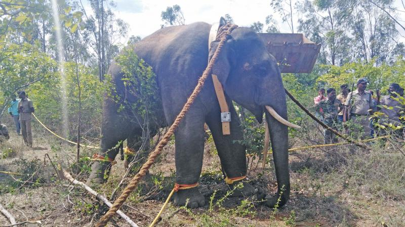 Crow Bar, a tusker caught after tranquilising it. (Photo: DC)