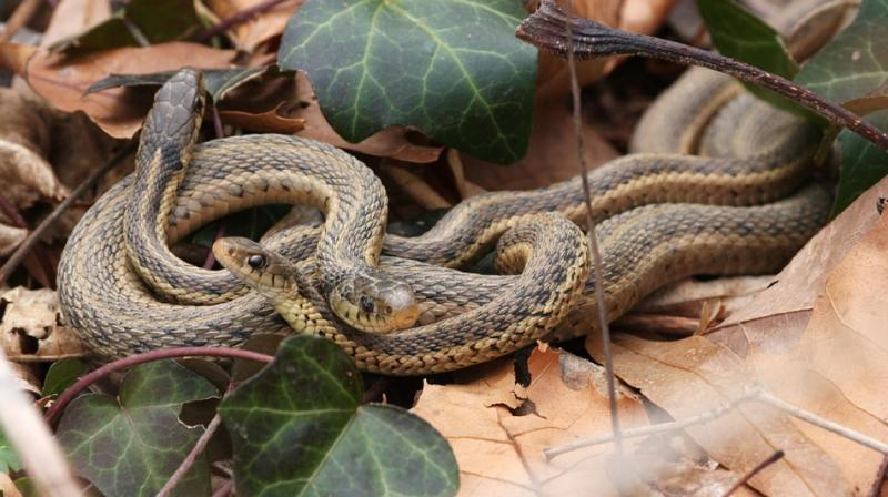 Jamie Fenske was lucky to spot timber rattlesnakes indulging in a combat dance during breeding season (Photo: Pixabay)