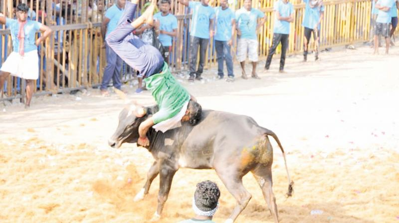 A bull fiercely fends off a bull tamer at a jallikattu event at Kokkudi village near Ariyalur on Saturday. 	—DC
