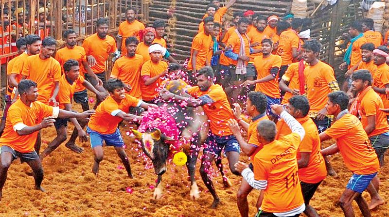 Youth attempt to tame a bull at the jallikattu at Thirukkanurpatti near Thanjavur on Sunday.	—DC