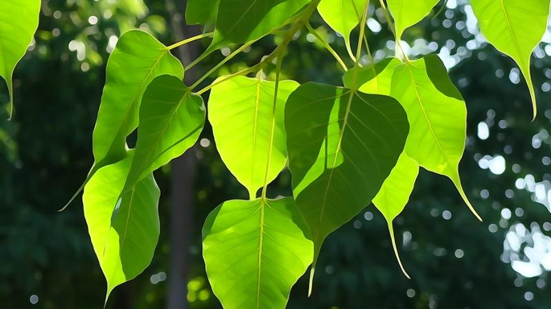Expert reveals the many health benefits you can get from a Peepal tree. (Photo: Pixabay)