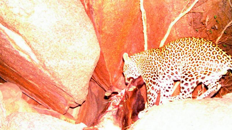 In a photograph taken by a camera trap, the leopard returns on Saturday to feed on a half-eaten calf which it had apparently left at the site on Friday night.