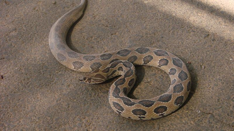 Deadly snake produces 36 babies while being rescued from man's bathroom