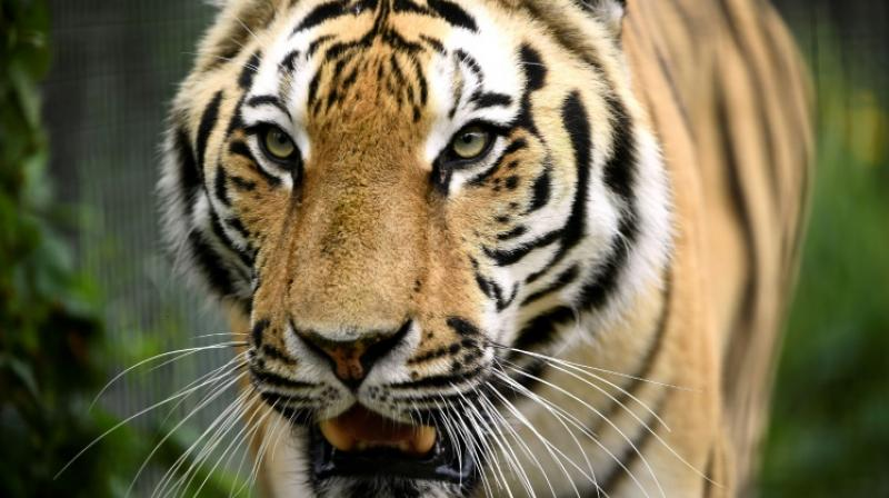 The study also highlighted the growing role breeding centres play in fuelling the illegal tiger trade, especially in Southeast Asia. (Photo: AFP)