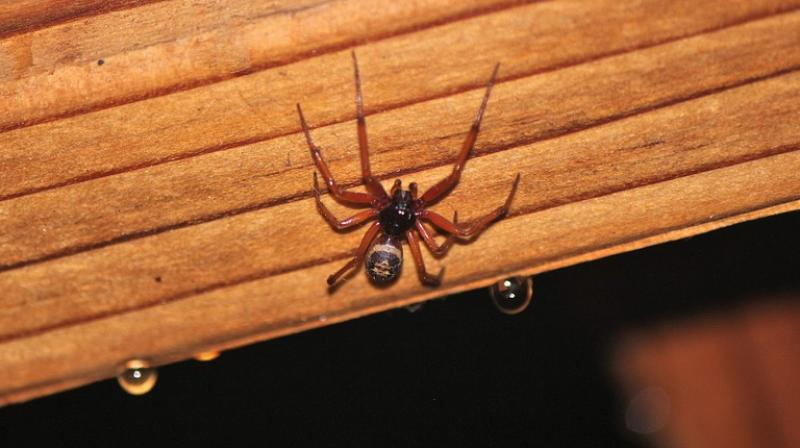 Brown widow spiders, as well as the black widow spiders, are notorious for cannibalising the male after copulation. (Photo: Pixabay)