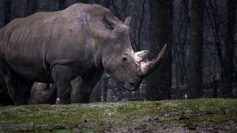 The 17 rhinos were captured in KwaZulu-Natal, South Africa, and quarantined for six weeks at Imfolozi Game Reserve. (Photo: Representational/Pixabay)