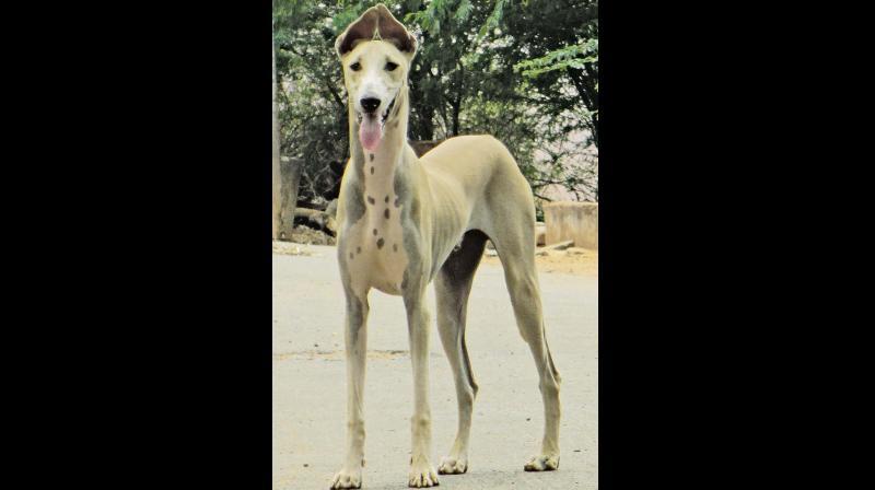 Kombai- A native Indian breed