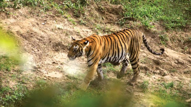 Officially, the country has doubled its tiger population in just over a decade — from a precarious 1,411 in 2006 to 2,967 in 2018.