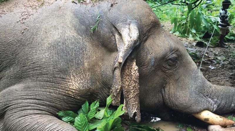 The electrocuted 22-year-old elephant.
