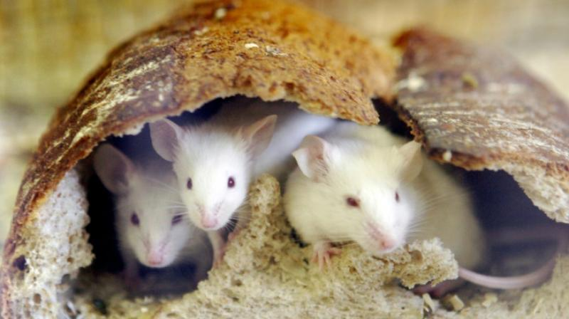 "Mice exposed to other males from a young age ""possessed a thicker ossified penis"". (Photo: AFP)"