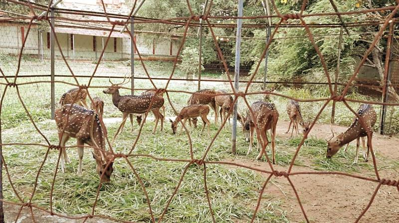 Deer grazing at the Sivaganga park in Thanjavur, Which is to be restructured under samrt city programme. (Photo: DC)