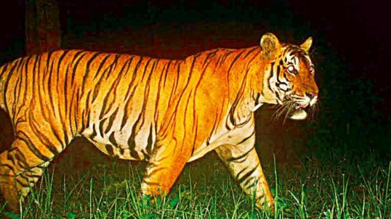 In the past few years, officials have seized three tiger skins in the old Adilabad district.  (Representational image)