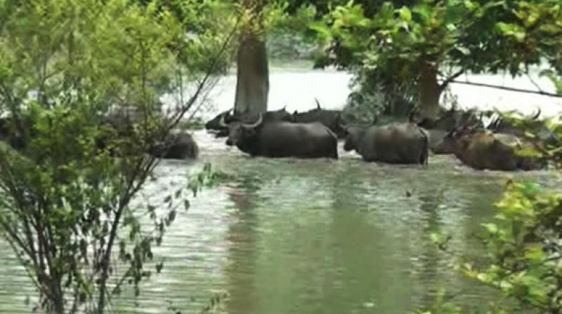 Pobitora Wildlife Sanctuary in Assam. (Photo: ANI)