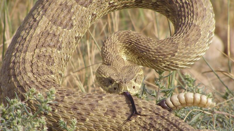 Man in Texas survives after battle with 4-foot rattlesnake. (Photo: Pixabay)