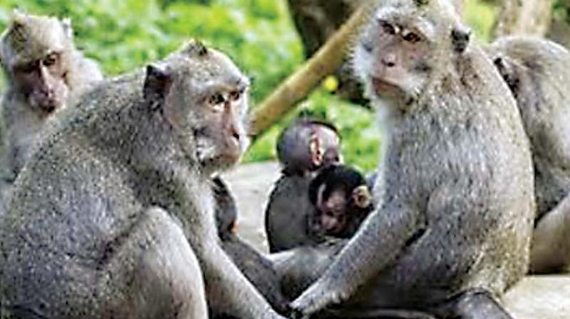 While seven monkey deaths were reported in four different places in Kundapur taluk, the latest one was reported on Thursday from Hirgana in Karkala taluk.