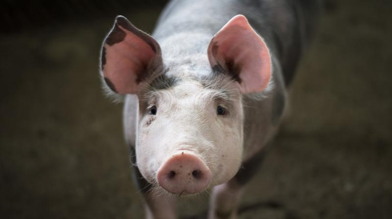 The group had first highlighted the conditions at Hogwood pig farm in Oxhill, Warwickshire in 2017. (Photo: Pixabay)