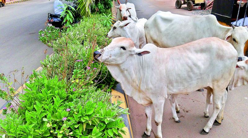 Stray cattle feed the plants in Rajahmundry. on Wednesday. (Photo: DC)