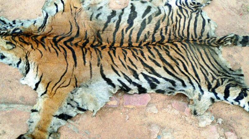 The tiger skin was seized from four locals at Bejjur range in November 2016 when they were trying to sell it.