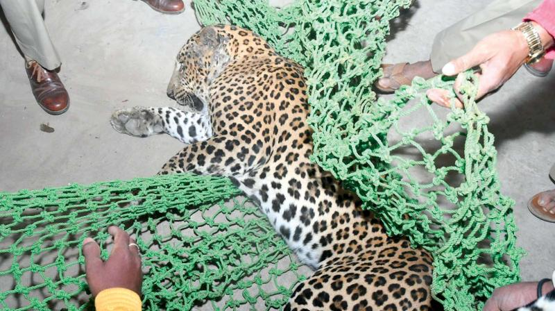 A leopard which was caught in Mysuru recently