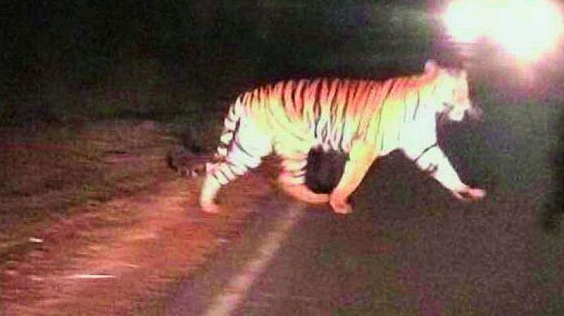 A tiger crossing the road at Srisailam highway on Wednesday.