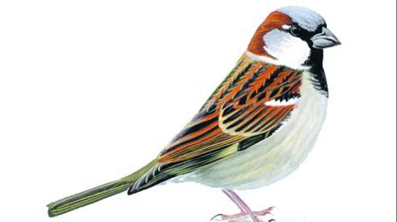 House sparrows, Small bird with a typical length of 16 cm and a mass of 24–39.5gms.