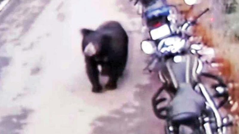 CCTV footage shows movement of bear in Vannarpet area in Coonoor town. (Photo: DC)