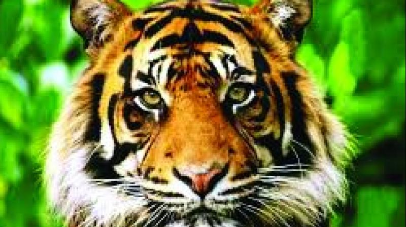Senior officials from the Wildlife Department said that their expectations of having over 20 tigers will be true as many pug marks have been recorded.