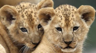 The two new-born cubs were born on May 10 in the Dvur Kralove safari park. (Photo: AP/Petr David Josek)